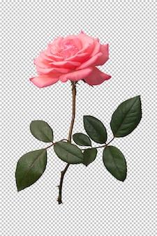 Różowy kwiat róży na przezroczystym