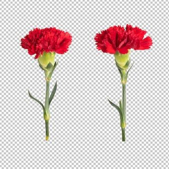 Ściana przezroczystości czerwonego goździka. obiekt kwiatowy.
