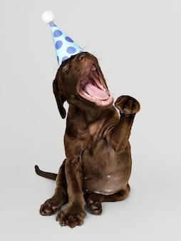 Śliczny labrador retriever szczeniak z partyjnym kapeluszem