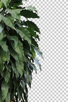 Tropikalne drzewo pozostawia pierwszy plan na białym tle