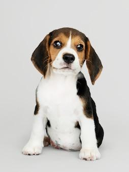 Urocza szczeniak beagle portret solo