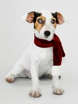 Uroczy Jack Russell Retriever szczeniak jest ubranym Bożenarodzeniowego szalika