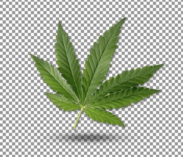 Zbliżenie na zielony liść konopi na białym tle