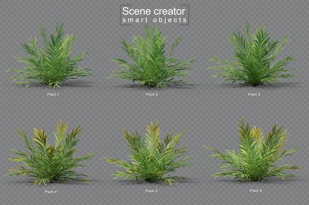 Zestaw acrostichum aureum plant
