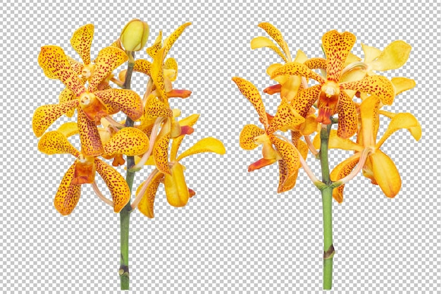 Zestaw bukietów żółto-pomarańczowych kwiatów orchidei na przezroczystości na białym tle.