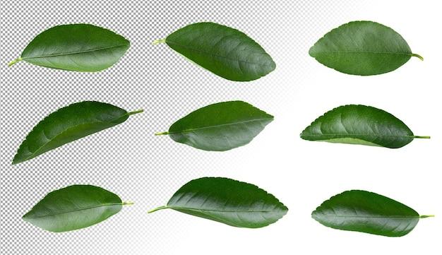 Zestaw kolekcji cytryny zielonych liści na białym tle