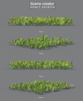 Zestaw roślin acrostichum aureum