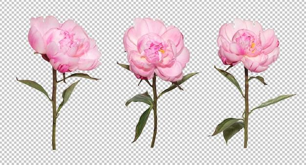 Zestaw ściany przezroczystości różowej piwonii kwiat. obiekt kwiatowy.