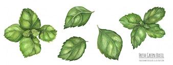 Śladami akwarela ilustracji Świeże zielone liście bazylii