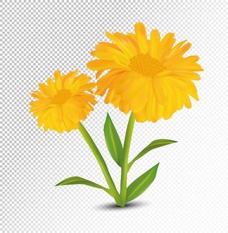 3d realistyczny kwiat nagietka. nagietek na białym tle