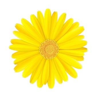 3d żółty nagietka lub pączek kwiatu nagietka na białym tle