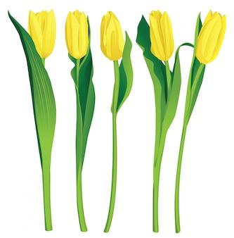 5 żółtych tulipanów