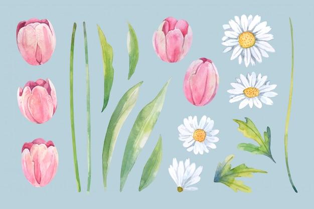 Akwarela biała stokrotka i różowy tulipan kwiat układają się na białym tle