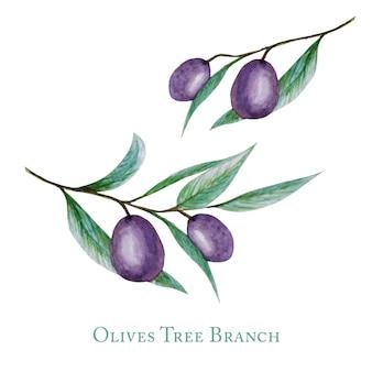 Akwarela czarna gałąź drzewa oliwnego pozostawia owoce, realistyczne oliwki ilustracja botaniczna na białym tle