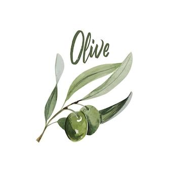 Akwarela gałązką oliwną. szkic gałązki oliwnej na białym tle
