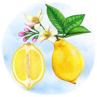 Akwarela ilustracja botaniczna pół cytryny i gałęzi cytryny z kwiatami
