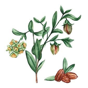 Akwarela ilustracja roślin jojoba