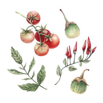 Akwarela ilustracja świeżych dojrzałych warzyw: pomidory, papryczki chili i bakłażan.
