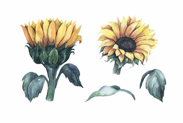 Akwarela kolekcja słoneczników.