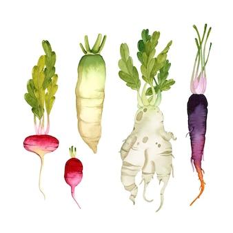 Akwarela korzenie warzyw zestaw izolowanych elementów daikon rzodkiewki marchwi na białej powierzchni