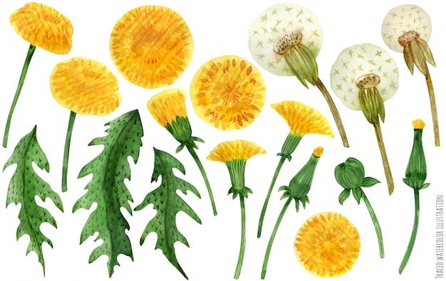 Akwarela kwiatów i liści mniszka lekarskiego