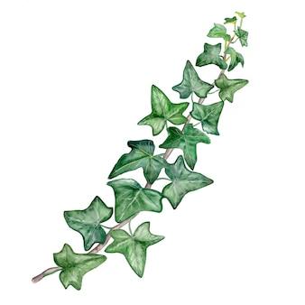 Akwarela malarstwo zielony zostaw bluszcz