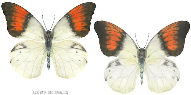 Akwarela motyle hebomoia