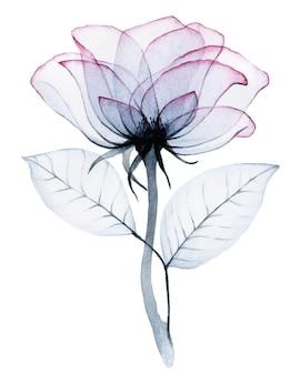 Akwarela przezroczysty kwiat róży różowe i szare kolory