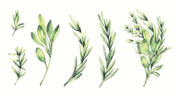 Akwarela rozmaryn i ziele tymianku