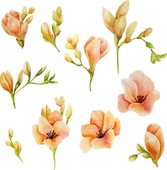 Akwarela różowe kwiaty frezji zestaw na białym tle
