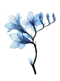 Akwarela rysunek przezroczyste niebieskie kwiaty frezji na białym tle