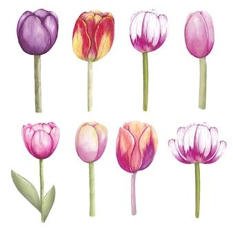 Akwarela tulipanów kwiaty na białym tle
