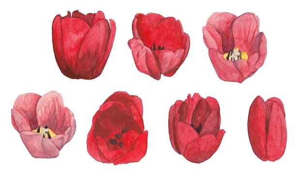 Akwarela zestaw czerwonych tulipanów