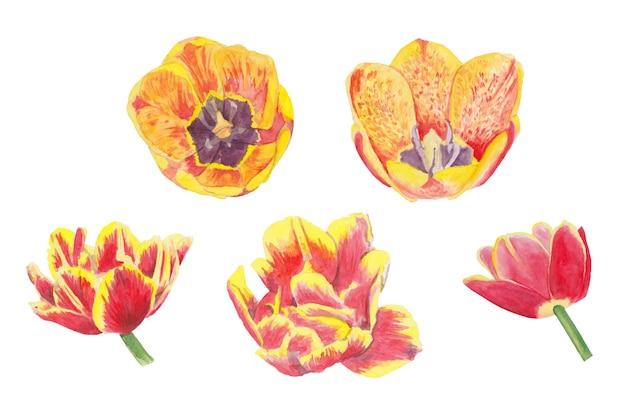 Akwarela zestaw żółtych i czerwonych tulipanów