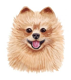 Akwareli ilustracja śmieszny pies. popularna rasa psa. pies pomorski. szpic pomorski. ręcznie robiony charakter odizolowywający na bielu