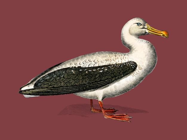 Albatros (diomedeidae) zilustrowany przez charlesa dessalines d'orbigny (1806-1876).