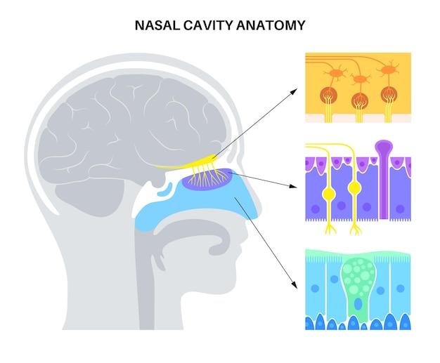 Anatomia jamy nosowej
