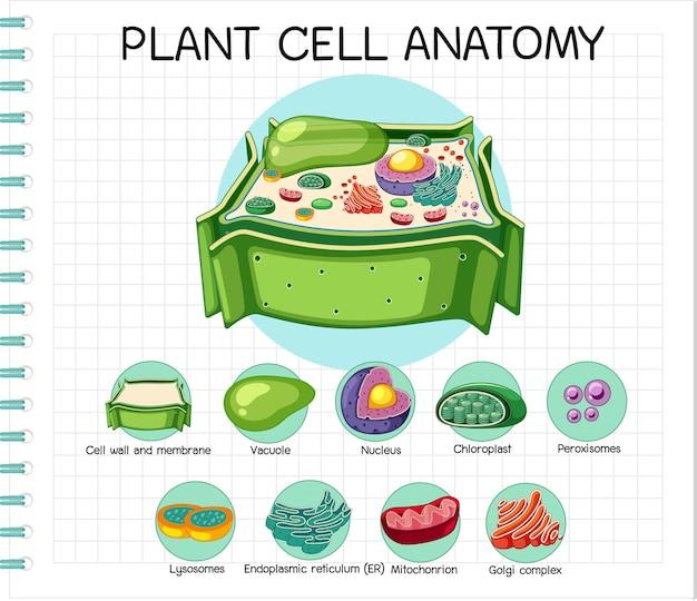 Anatomia komórki roślinnej (schemat biologii)