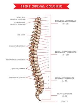 Anatomia kości ludzkiego kręgosłupa, szkic szkieletu kręgosłupa lub kręgosłupa. kręgi szyjne, piersiowe i lędźwiowe, skrzywienie miednicy i kość ogonowa, powierzchnia żebra, krążki międzykręgowe i otwór