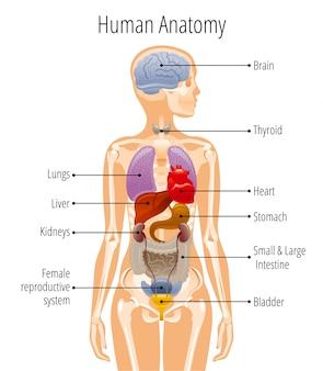 Anatomia ludzkiego ciała, plakat narządów wewnętrznych kobiety z wątrobą, żołądkiem, sercem, mózgiem, żeńskim układem rozrodczym, pęcherzem, nerką, tarczycą.