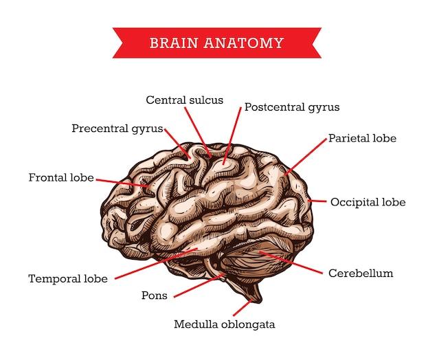 Anatomia ludzkiego mózgu, schemat pomocy medycyny szkicu narządu ciała