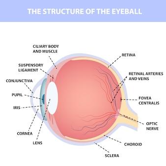 Anatomia ludzkiego oka, oznaczenie