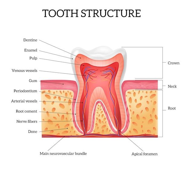 Anatomia ludzkiego zęba z etykietowanymi częściami, realistyczna plansza na białym tle