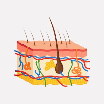 Anatomia ludzkiej skóry. warstwowy naskórek z cebulką włosową, gruczołami potowymi i łojowymi, tętnicami, nerwami i żyłami. naskórek, skóra właściwa, podskórna