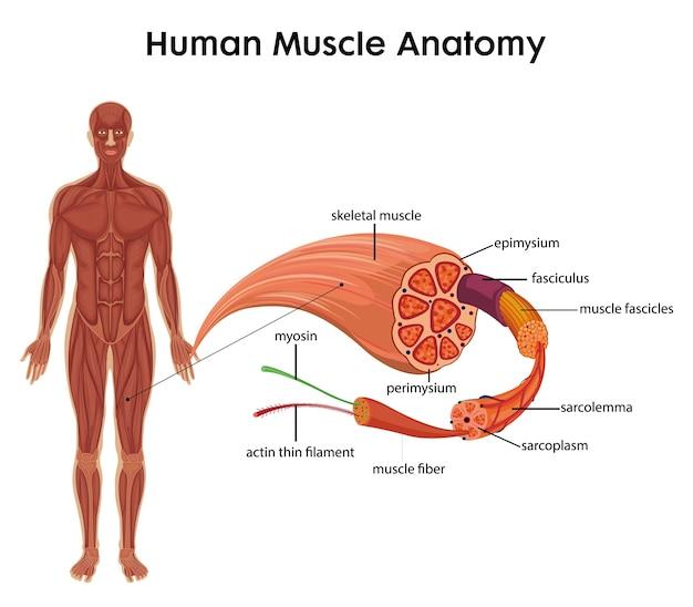 Anatomia mięśni człowieka dla infografiki edukacji zdrowotnej