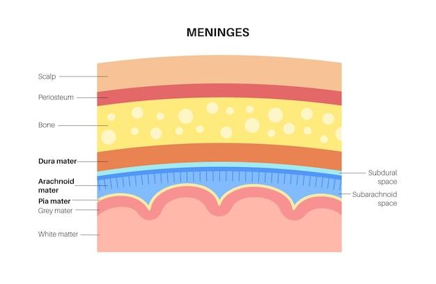 Anatomia opon mózgowych. ochrona centralnego układu nerwowego. ilustracja wektorowa ludzkiej głowy