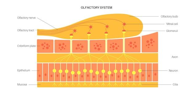 Anatomia układu węchowego
