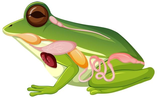 Anatomia wewnętrzna żaby z narządami