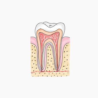 Anatomiczna ilustracja zębów trzonowych