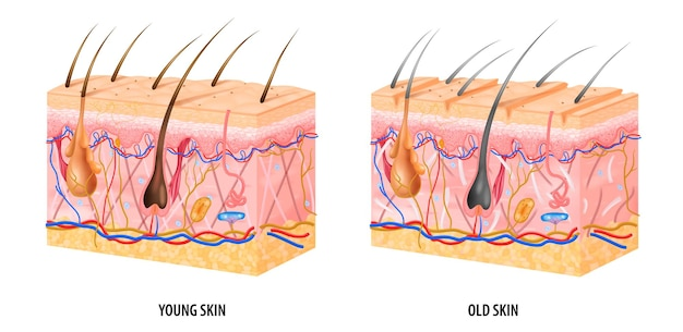 Anatomiczna struktura skóry młodej i starej realistyczne na białym tle